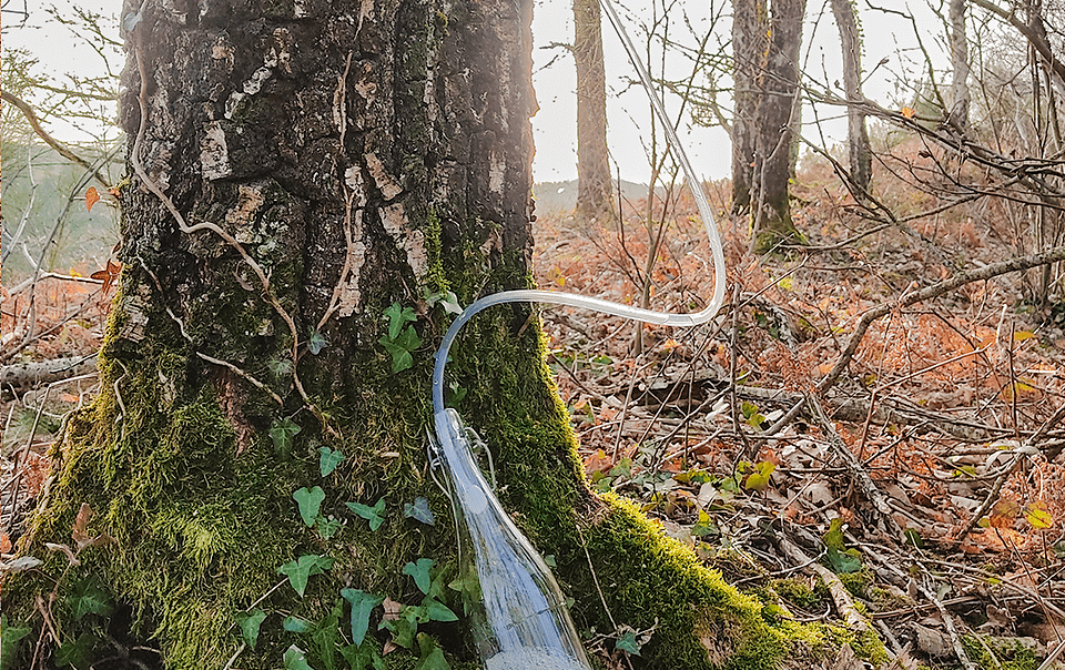 Récolte de l'eau de bouleau